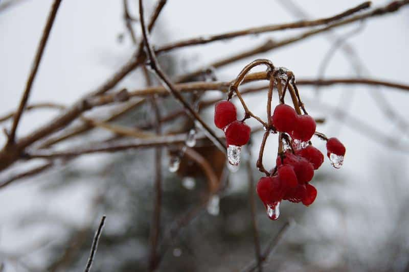 Iced up berries