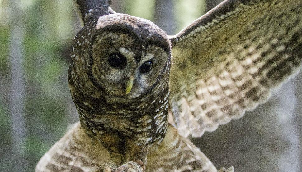 Female Spotted Owl (Taken on July 1st, 2014)