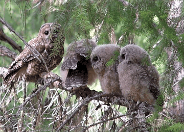 Family of Northern Spotted Owl