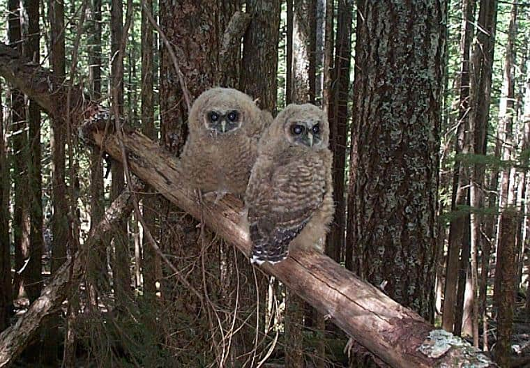 Pair of juvenile Spotted Owls