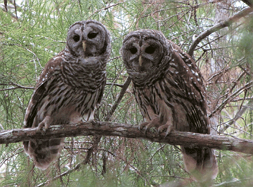 Barred owls posing