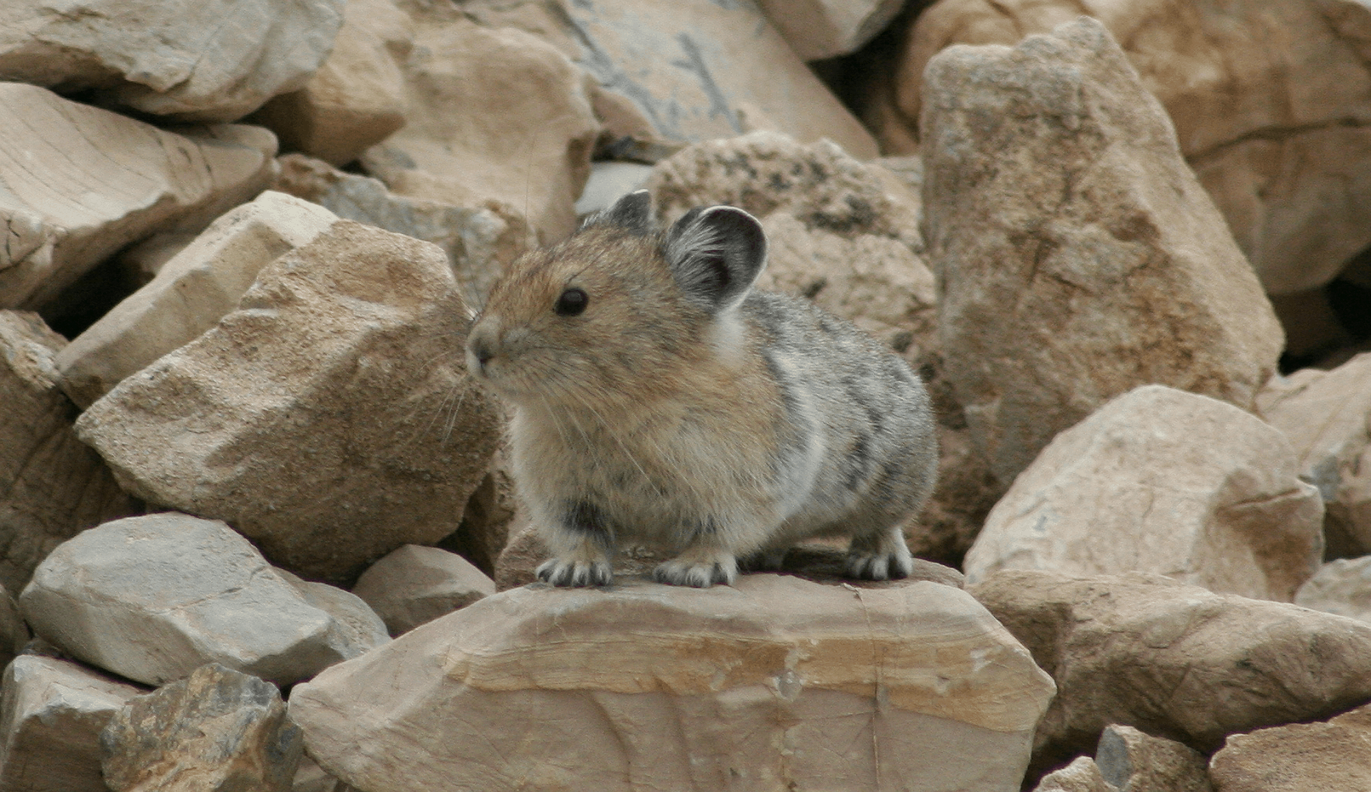 how global warming is threatening the american pika paw mane fin