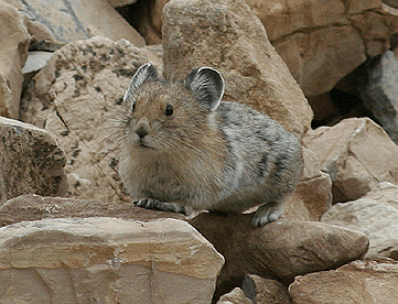American Pika (Citizen Science)