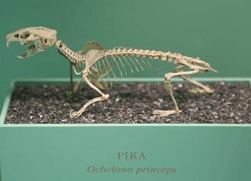 Skeleton of Pika (Ochotona Princeps)