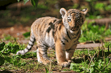 Standing cub | one of the Siberian 3-month old tigers
