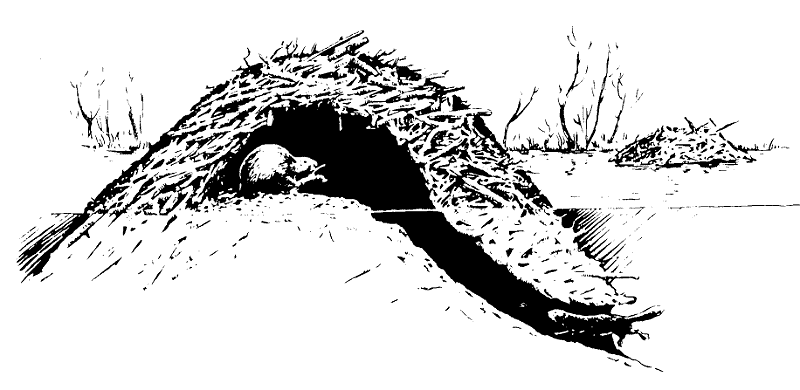 Illustration of beaver lodge, side view
