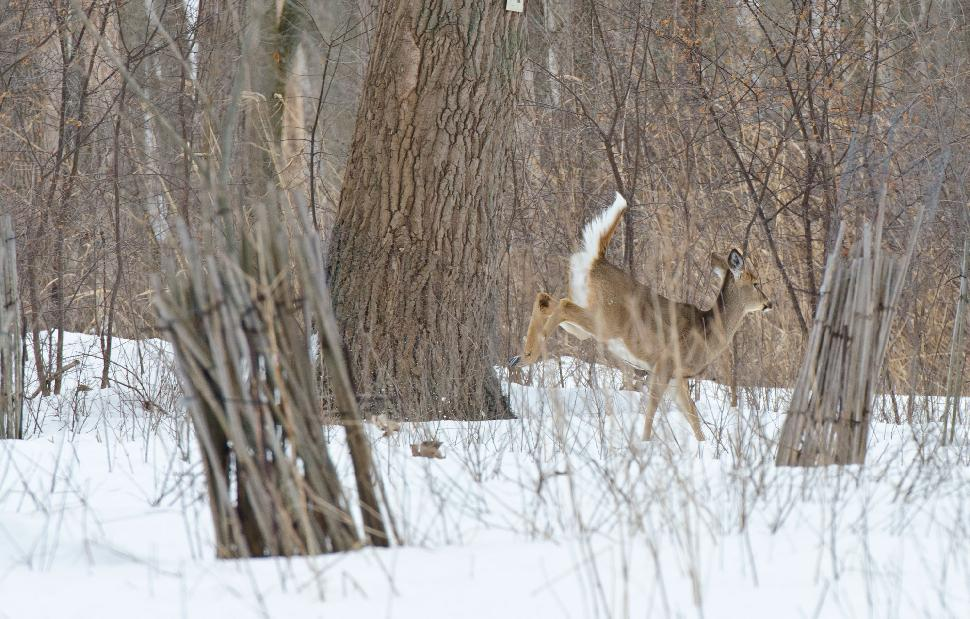 Tifft Nature Preserve - Deer