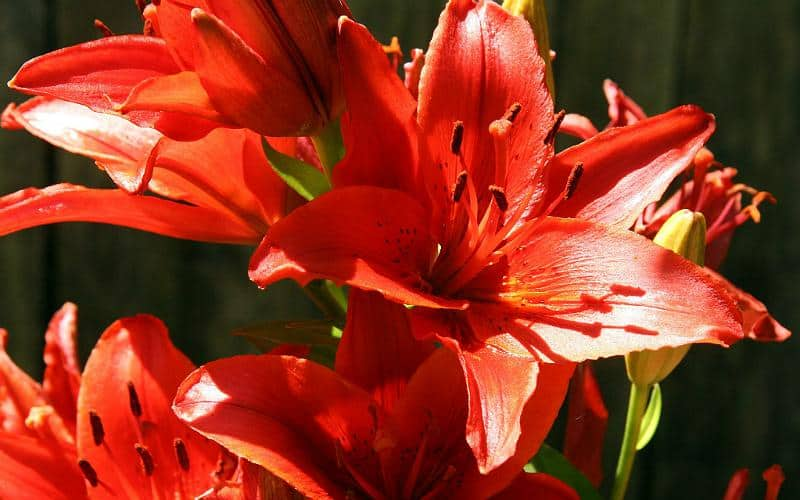 Asiatic Hybrid Lilies