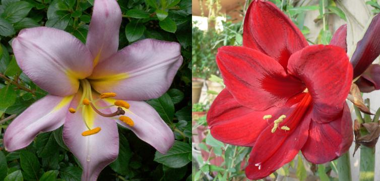 Pink Stargazer Lily | Red Lily