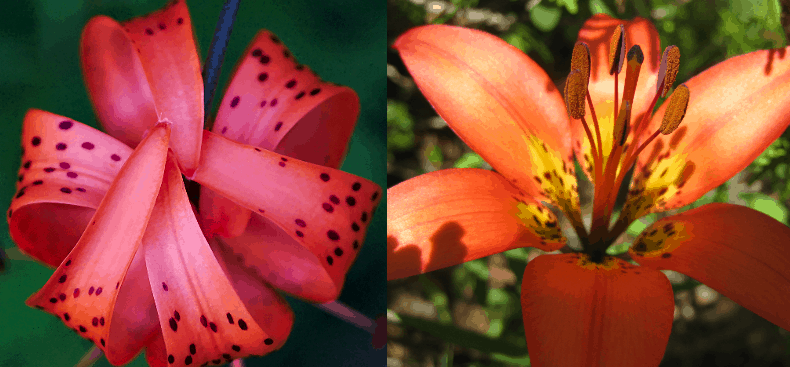 Western Red Lily | Wood Lily