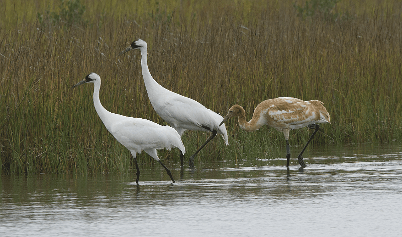 Whooping Cranes in marsh in Texas
