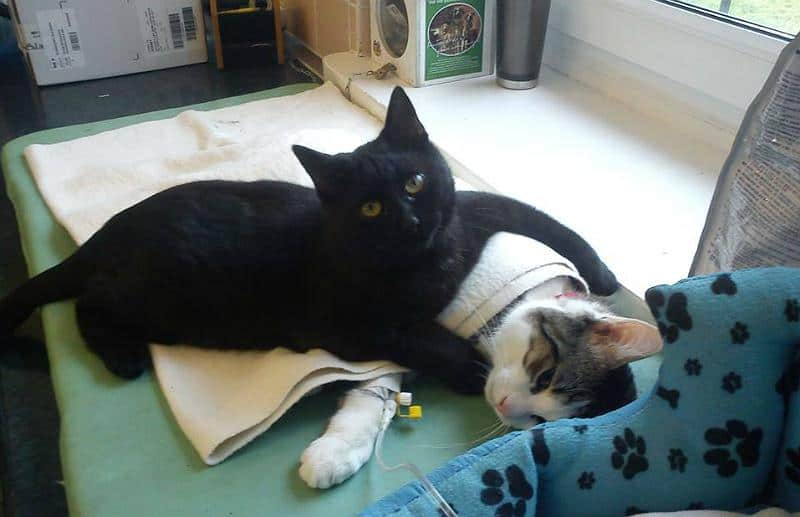 Radamenes Hugging Cat in Recovery