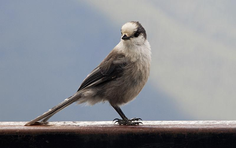 Gray Jay, Perisoreus canadensis on top of Sulphur mountain Banff.