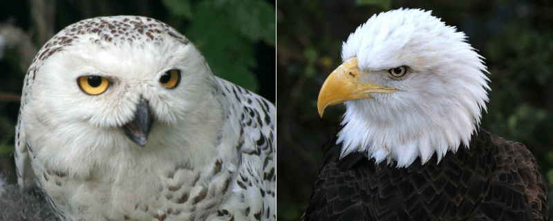 "Left: Snowy Owl | Right: ""Liberty"" a Southern Bald Eagle"
