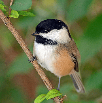 Chickadee: A black-capped chickadee looks out from a bush