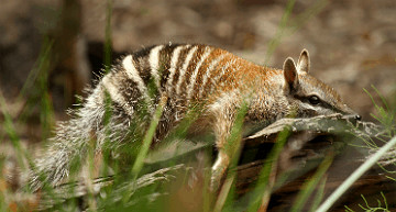 Numbat | A numbat has a lie down at Perth Zoo