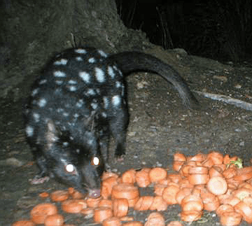 Night Stalk Eastern Quoll