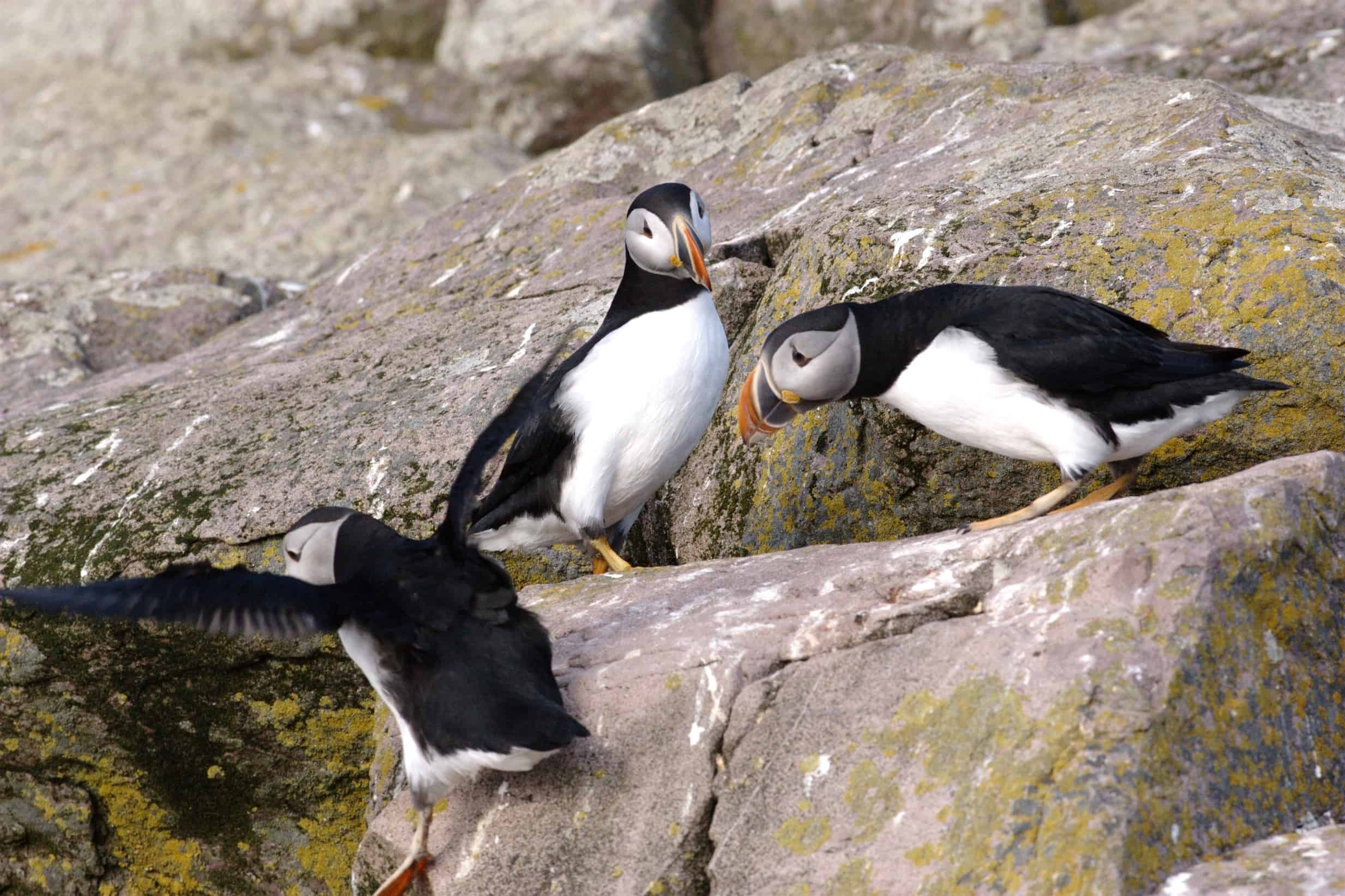Newfoundland: Where to Find Puffins - Canadian Traveller
