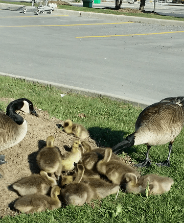 Geese and Goslings at Superstore