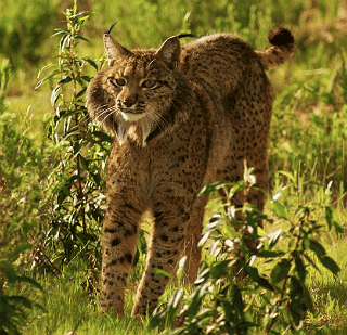 Iberian Lynx adult from the Program Ex-situ Conservation