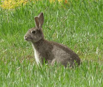 Oryctolagus cuniculus (Linnaeus, 1758), European Rabbit