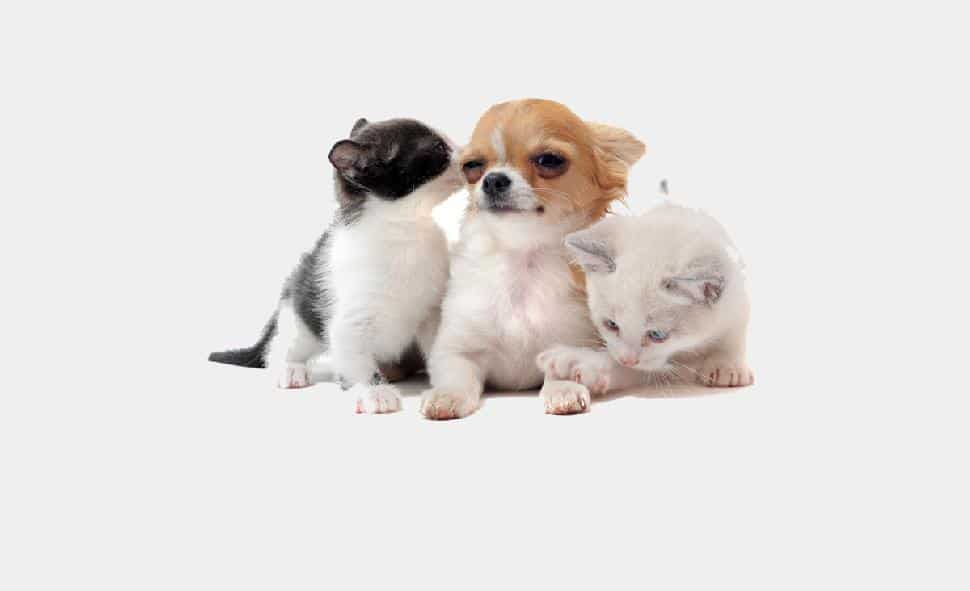 chihuahua and kittens
