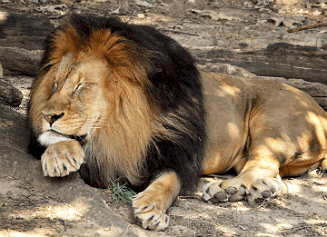 Snoozing Lion (Taken on July 30th, 2014)
