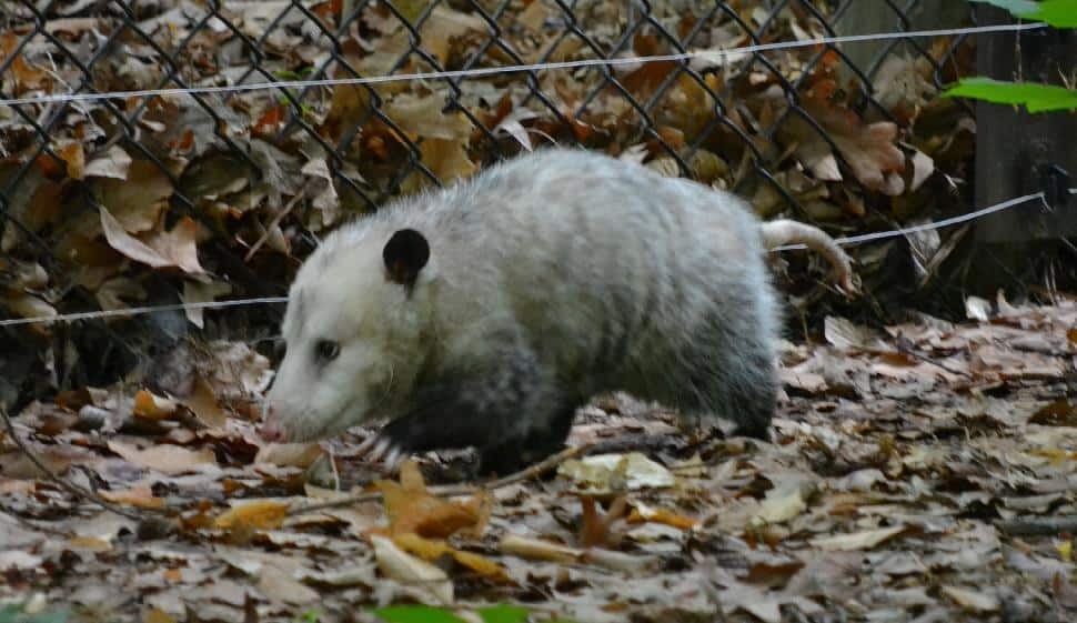 Opossum on the Run