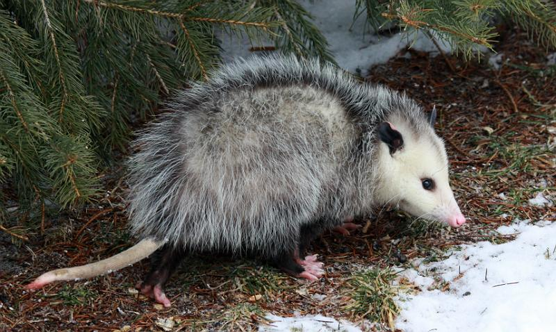 Opossums Are Beneficial to Have Around - Paw Mane Fin