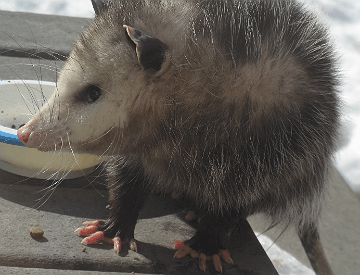 Opossum visits the back porch and eats cat food