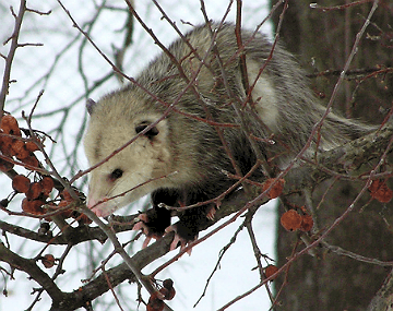 a 'possum in a crabapple tree