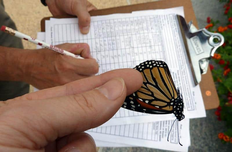 Monarch Butterfly Tagging 2012