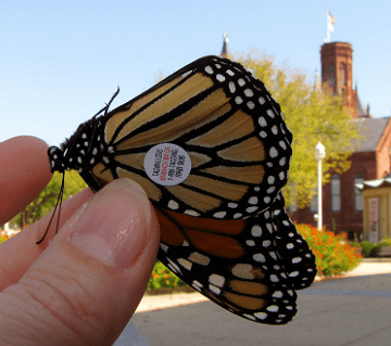Monarch Butterfly Tagging 2012 (a tagged butterfly)