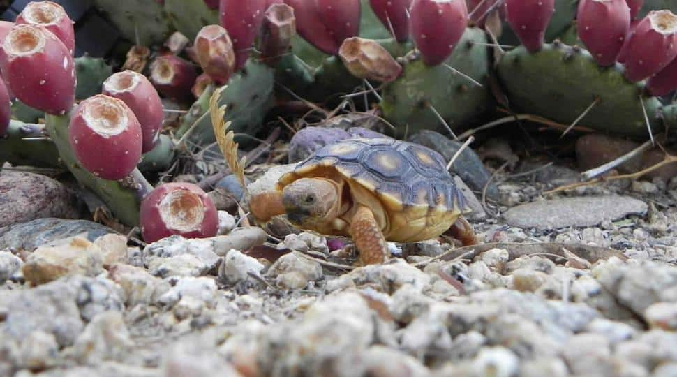 Image of a Sonoran desert tortoise