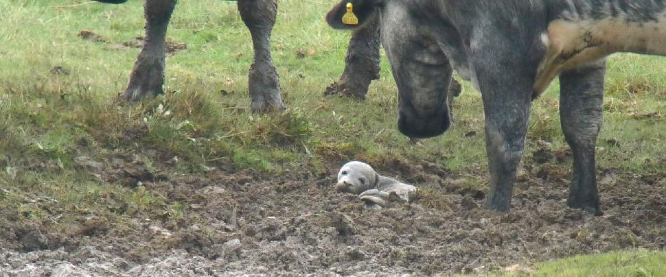 seal amongst the cows