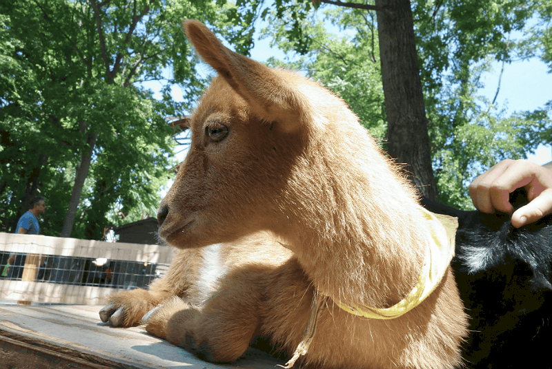 Kid Goat at the Petting Zoo