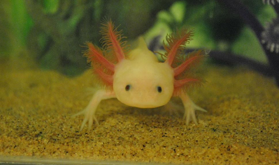 A leucistic axolotl in captivity