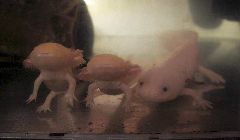 Over 3 yrs old axolotl and younger axolotls