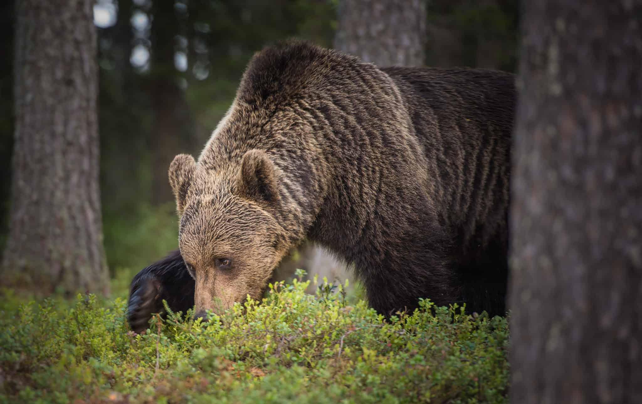 Canada S Most Dangerous Predators Explore Magazine