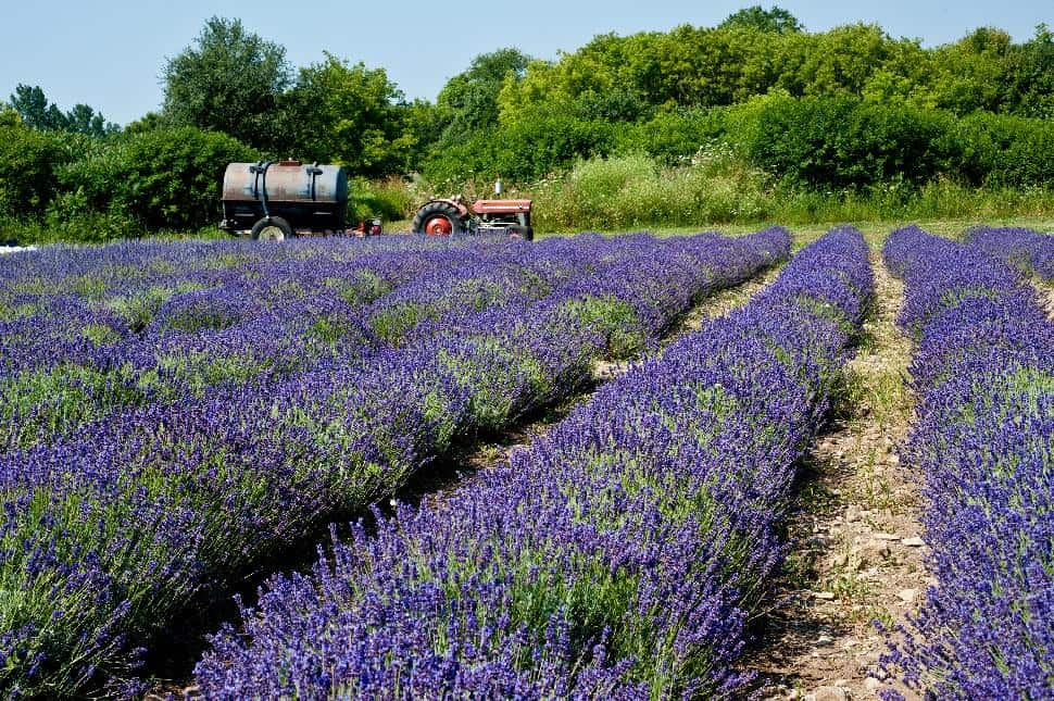 Ontario Tourism lavender field tractor farm rustic