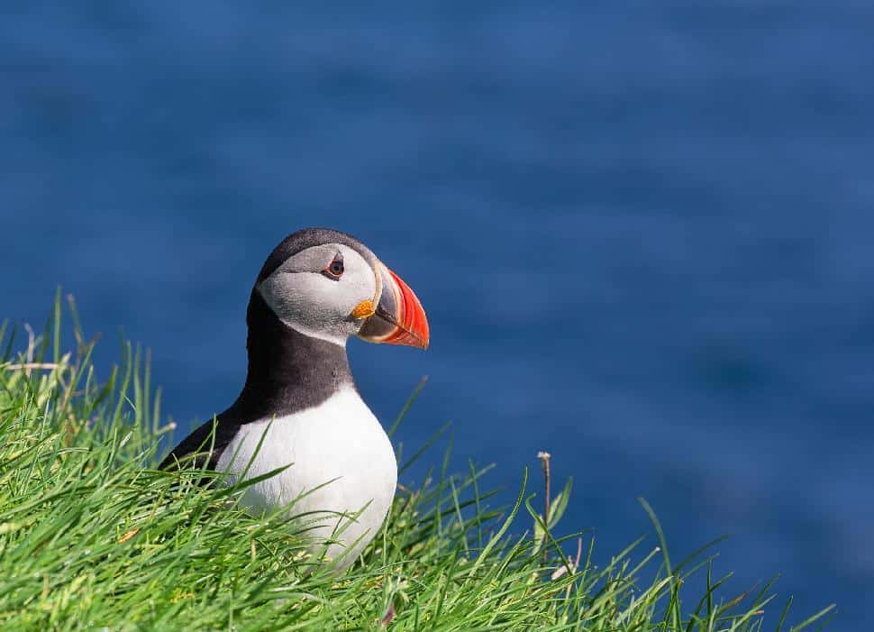 atlantic puffin quebec