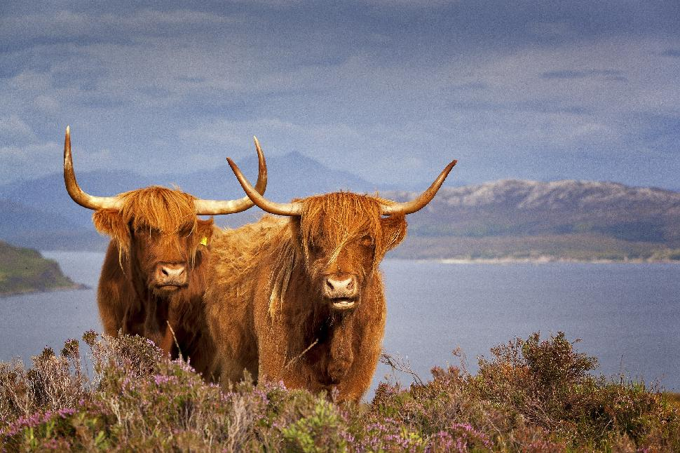 scottish cattle yaks