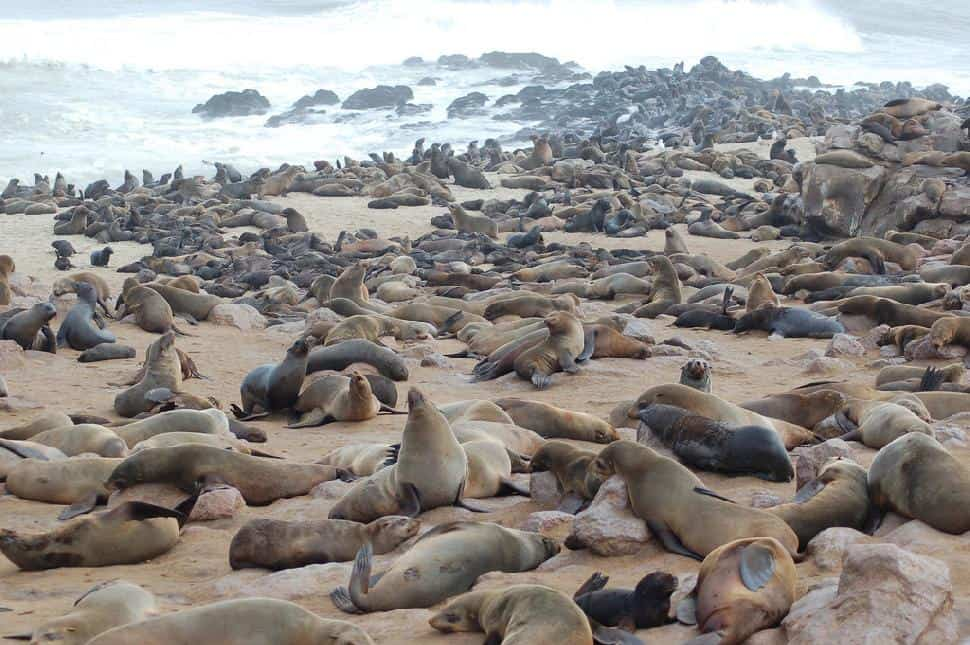 seals cape cross namibia