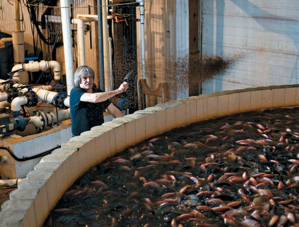 Fish Farming Tilapia In B C Bcbusiness