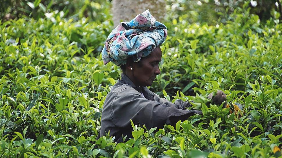 woman picking tea leaves in sri lanka