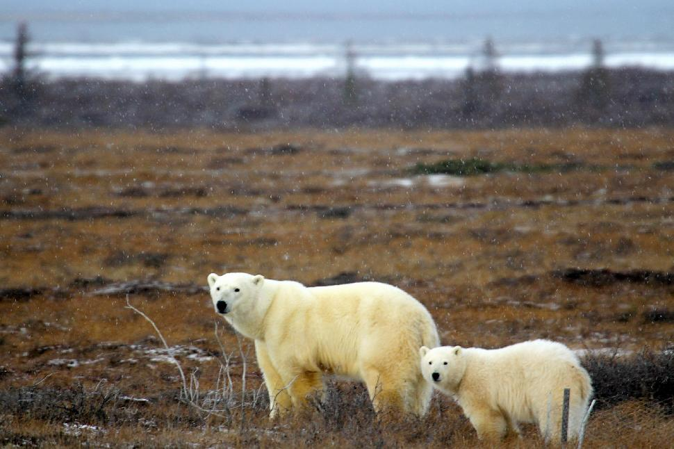polar bears wapusk national park